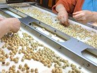 Çin ve Hindistan'a artan fındık ihracatı yüzleri güldürüyor