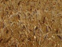 Afyonkarahisarlı çiftçi, adını bilmediği verimi yüksek bir avuç buğdayı Türkiye'ye yaymak istiyor