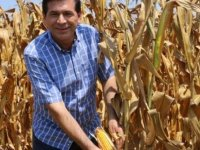 Adana'da mısır hasadı başladı