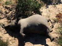 Güney Afrika'da yüzlerce fil içtikleri sudan zehirlenerek öldü