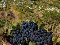 İzmir'in tescilli üzümüne 'renkli' koruma