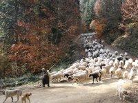 Yerli hayvan ırk ve hatlarının tescil listesine 10 hayvan eklendi