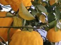 Ereğlili Recep Morcu üretiyor kavun ağacı: Egzotik ağaç kavunu fidanı ve meyvesi, tadı, faydaları