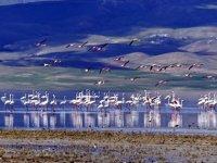 Erçek Gölü'ne flamingolar bu yıl erken geldi