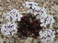 Bu bitki sadece Tuz Gölü havzasında yetişiyor