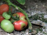 'İsrail virüsü' domatesin koronası