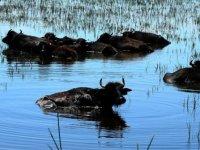 Kızılırmak Deltası için büyük önem taşıyan manda varlığı artıyor