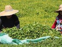 Çay ailece toplandı, 100 milyon dolar üreticiye kaldı
