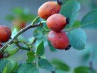 Sarıçam ormanlarına dikilen meyve fidanları sayesinde yaban hayatı aç kalmıyor