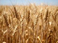 Türkiye'de azalan buğday verimine karşı 'doğru ve sürdürülebilir tarım' önerisi