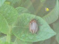 Patates böceği ile mücadele, patates böceği nedir?