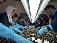 Amasya kirazı 10 ülkede ağızları tatlandırıyor