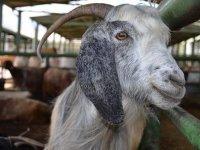 Dernek ve vakıflara hayvan tesliminde KDV düşürüldü