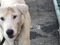 Altındağ bir sokak köpeğini daha kurtardı