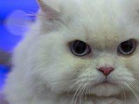 En güzel kedi Ankaralı 'Pamuk' seçildi