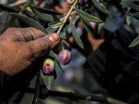 Kuzey Ege'de zeytinin yağa dönüşme yolculuğu başladı