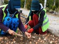 Gölbaşı'nda 100 bin lale soğanı ekildi