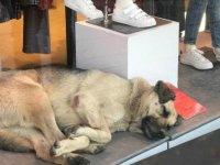 Uyumak için girdiği mağazanın vitrininde ilgi odağı oldu
