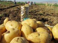 Patates ekimine yöneldiler