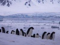 Antarktika'da 2016'da binlerce yavru penguen boğulmuş