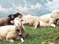 Çiftçiler koyunlarını okula kaydettirdi