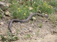 Oltu'da 1,5 metrelik Hopa engereği görüldü