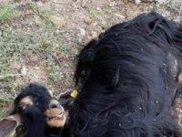 Tunceli'de kurtlar, 42 keçiyi telef etti