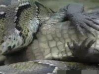 Piton timsaha acımadı canlı canlı yedi