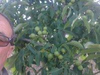 Kaman cevizi bahçeleri meyveleri ile göz dolduruyor