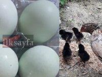 Mavi yumurta civcivleri