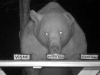 Bal testi yapan ayı kamerayla böyle görüntülendi