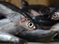 Karadenizli balıkçılarda hamsi sevinci