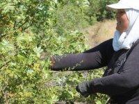 Erkeklerin ilgilenmediği 'çitlembik' kadınların kazanç kapısı oldu