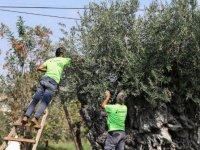 Bin 200 yıllık ağaçtan toplanan zeytinler açık artırma ile satılacak