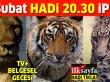 16 Şubat HADİ 20.30 ipucu: Büyük kedilerin en büyüğü hangisi? TV+ Belgesel Gecesi ipucu sorusu cevabı