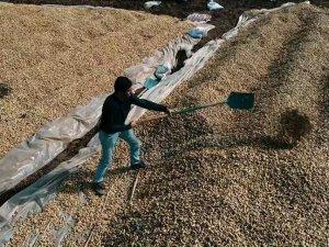 Yer fıstığı üretimi artıyor