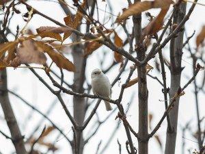 Nadir rastlanan 'beyaz ağaç serçesi' başkentte görüldü