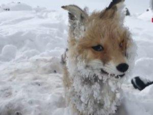 Belediye çalışanı fark etti: Tilki soğuktan dondu