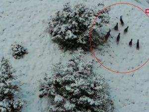 Yaban keçileri havadan böyle görüntülendi