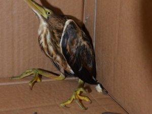 Nesli tükenmekte olan Hint gölet balıkçıl kuşu Türkiye'de görüldü
