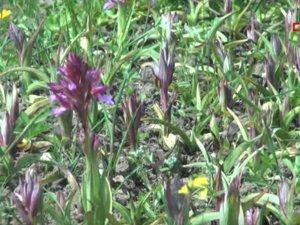 O çiçeğin kilosu bin liradan alıcı buluyor: İlk hasatta 12 ton elde edildi