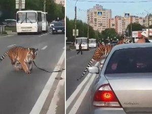 Rusya'da akılalmaz olay: Kaplan otomobilden atladı