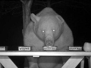 Bal testi yapan ayı kamerayla böyle görüntülendi!