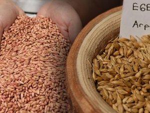 13 yıllık emekle ortaya çıkan arpa tohumu toprakla buluşuyor