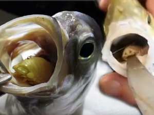 Şaşkına çeviren görüntü! Balığın dilinde yetişiyor