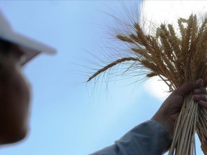 Mezopotamya'nın en eski buğday tohumundan 560 ton rekolte bekleniyor