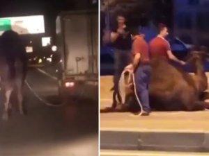 Deveyi kamyonetin arkasına bağlayıp kilometrelerce koşturdu