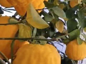 İlginç ağaç kavunu (kavun ağacı) ve meyvesi