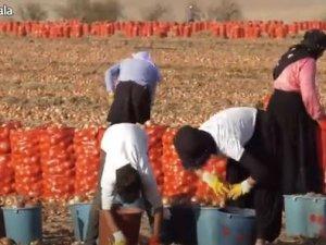 Soğan tarlasında aşılama