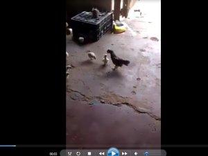Kendisinden büyük horoza meydan okuyan civciv
